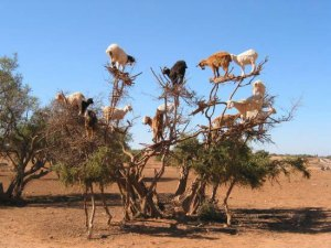 tree-climbing-goats-morocco-the-suite-world